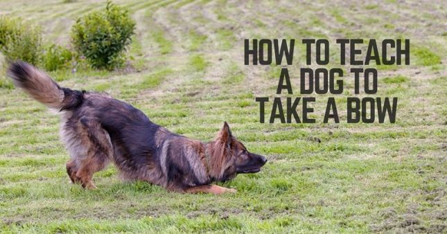 How to teach your dog to take a bow