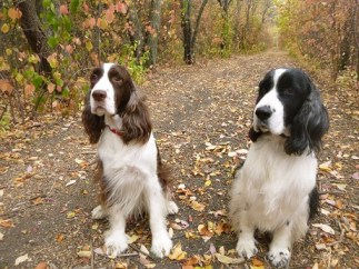 Out for a run with two springer spaniels