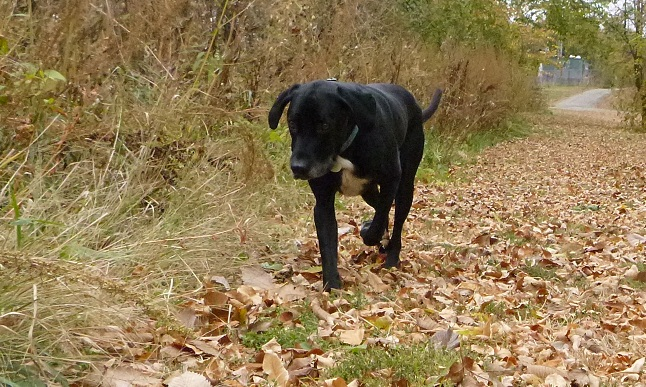 Black lab mix walks in the fall leaves