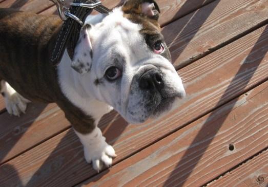 Zeus the English bulldog puppy