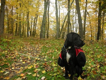 Black lab mix wearing a doggy backpack