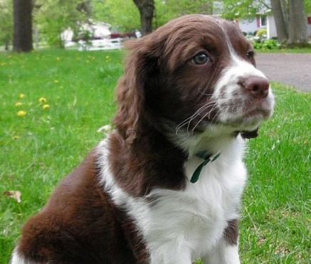 How to potty train a springer spaniel puppy
