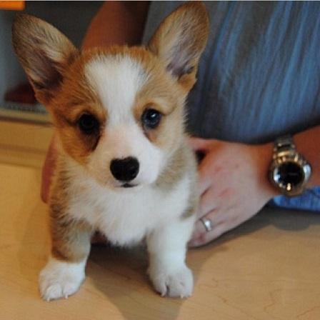 Tan and white corgi puppy
