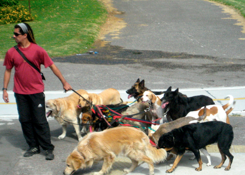 Dog walker with multiple dogs