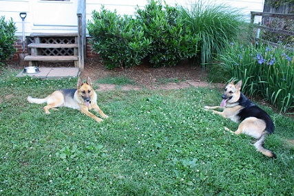 German shepherds in the yard together