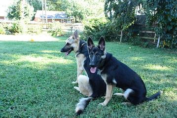 Two German shepherds in the yard