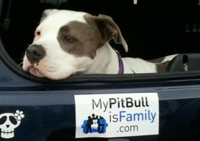 My pitbull is family bumper sticker
