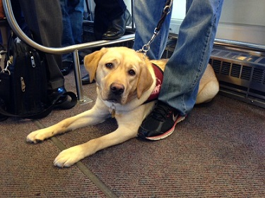 Adelle as a pup in training to be a service dog