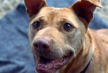 Senior pitbull for adoption Escondido