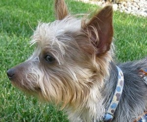 silky-terrier-mix