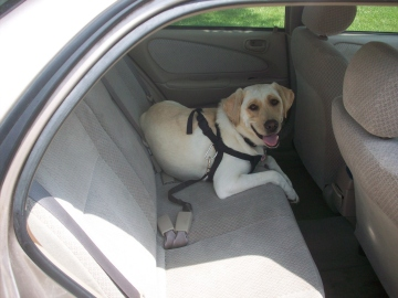 Yellow Lab Laying Down Dog Car Seat Belt
