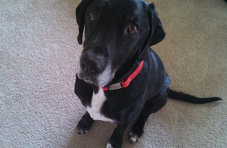 Ace the black Lab mix