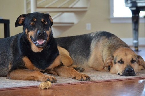 Pet sitting nightmares - two shepherd mixes lying on rug