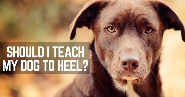 Should I teach my dog to heel