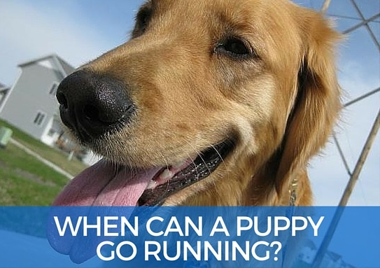 When can a puppy go running