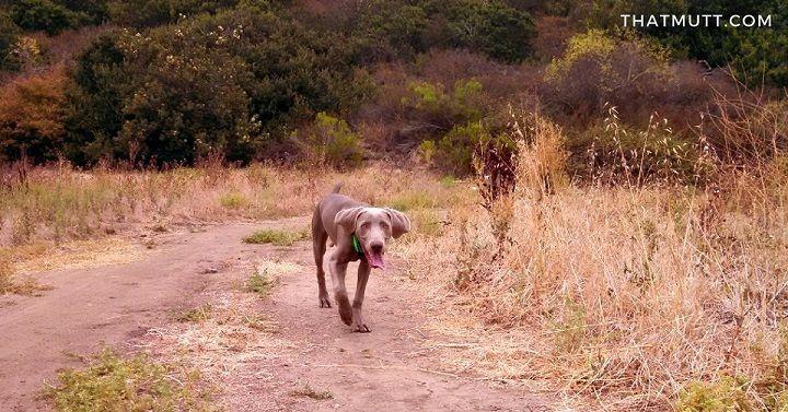 My weimaraner puppy Remy