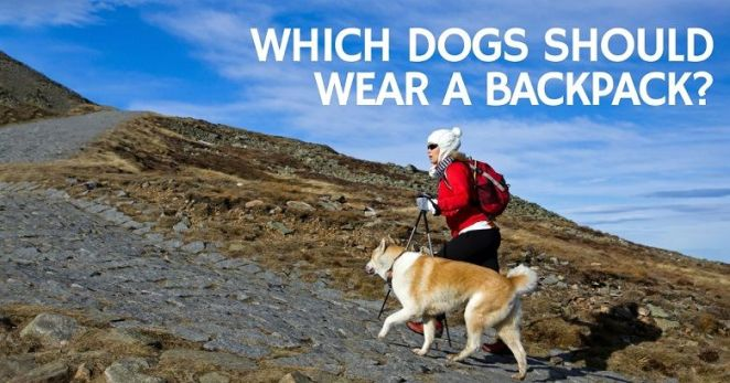 Which dogs can benefit from dog backpacks