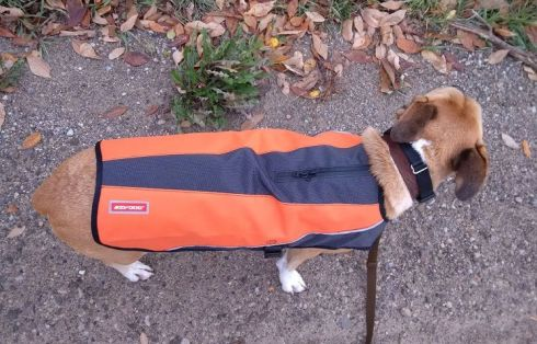 Baxter in his EzyDog Element Jacket