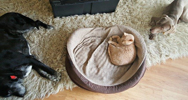 Can weimaraners live with cats?