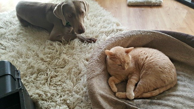 Weimaraners and cats