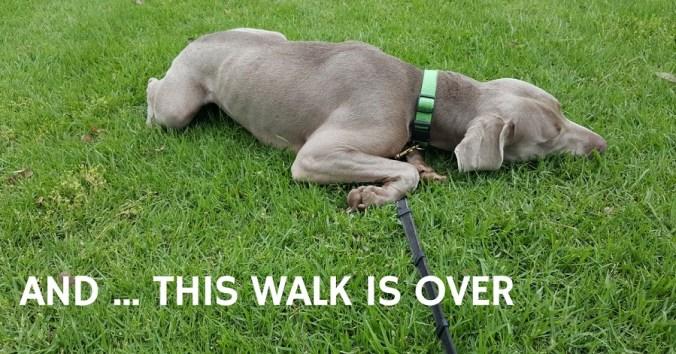 Dog refuses to walk meme