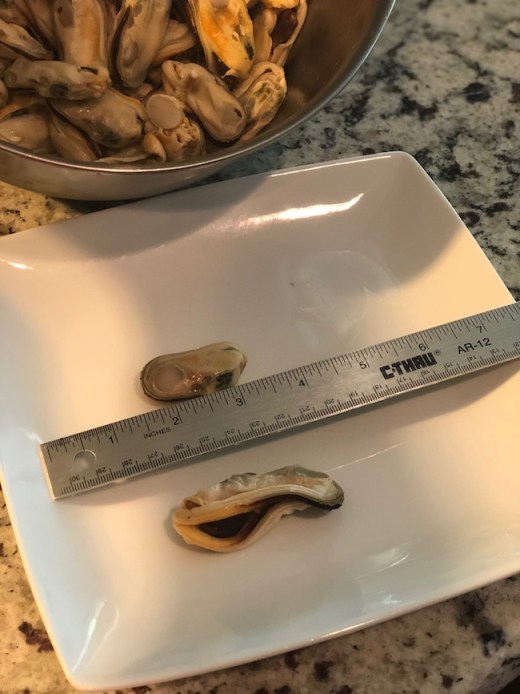 Green Lipped Mussels size