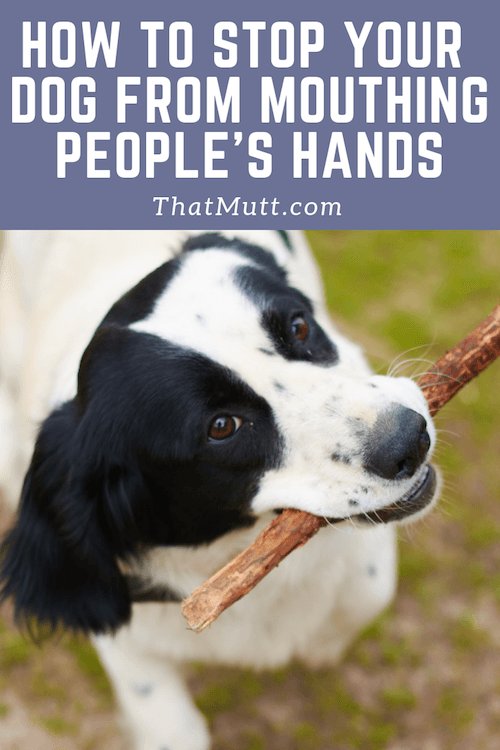 How to stop your adult dog from mouthing people's hands #dogtraining #dogs #spaniels #puppytraining