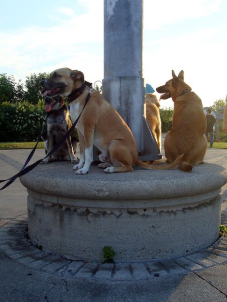 Dogs sitting on a pedestal during training class