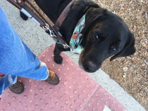 Guide Dog Info—What They Do, Their Training & More