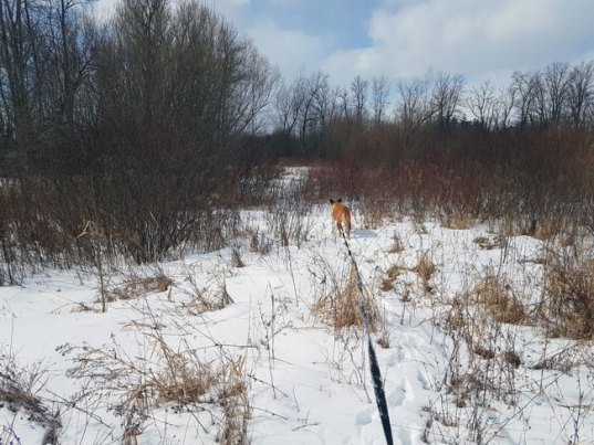 Baxter following a trail