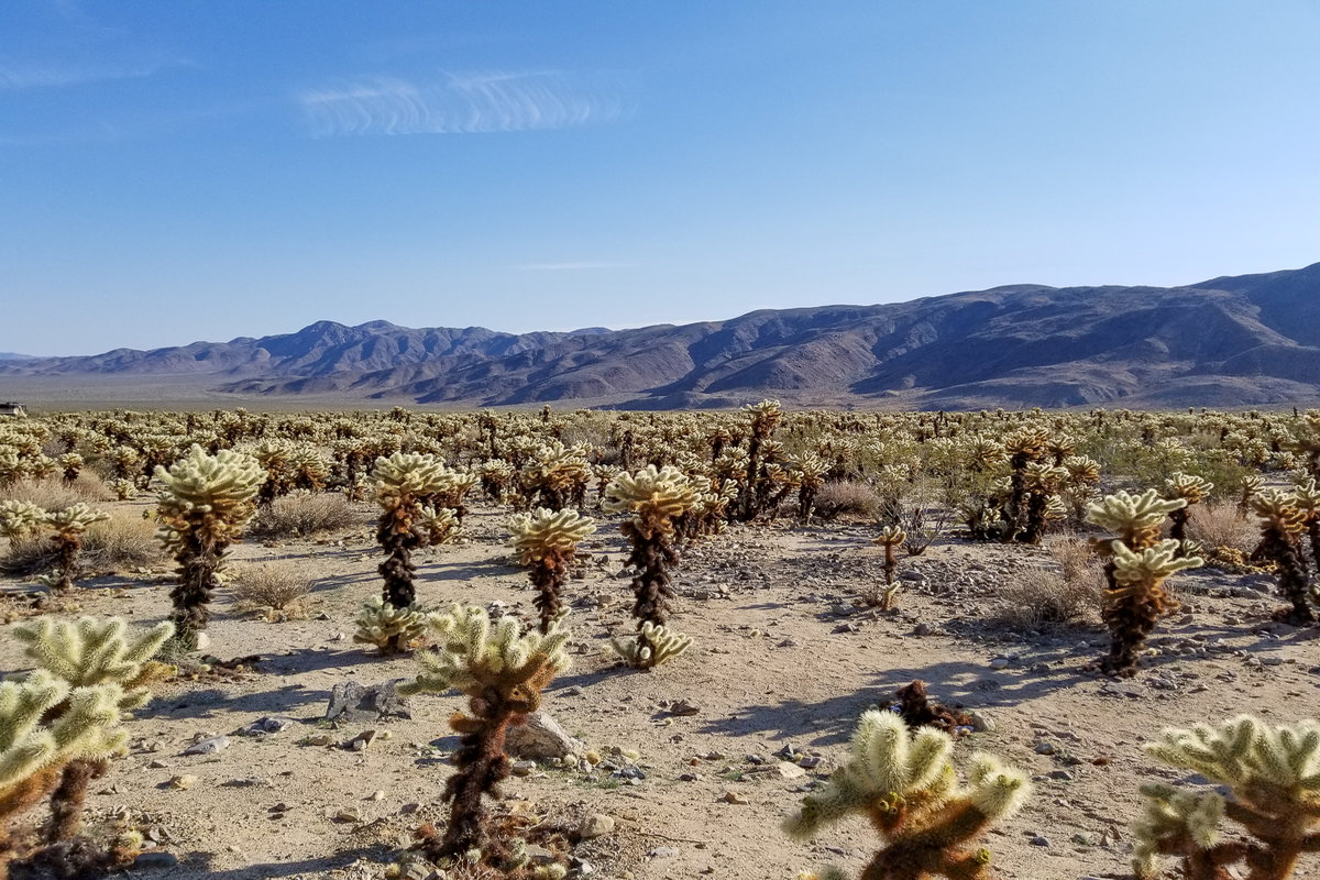 The Cholla Cactus Garden is a must see in Joshua Tree National Park