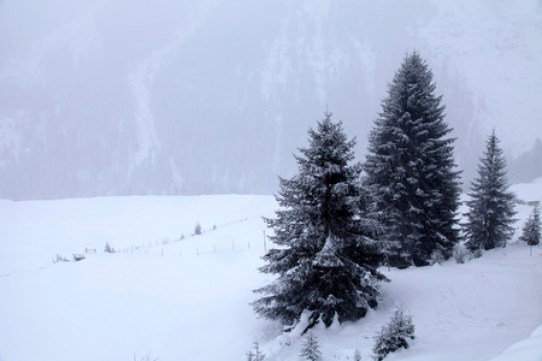 37436841 - snowstorm over mountains and spruce trees in winter, alps, switzerland