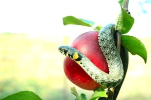 10525295 - snake on a red apple