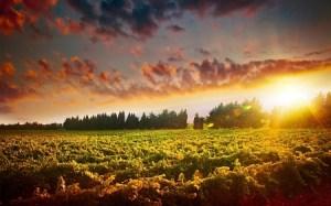 12880002 - stunning sunset landscape of grape field