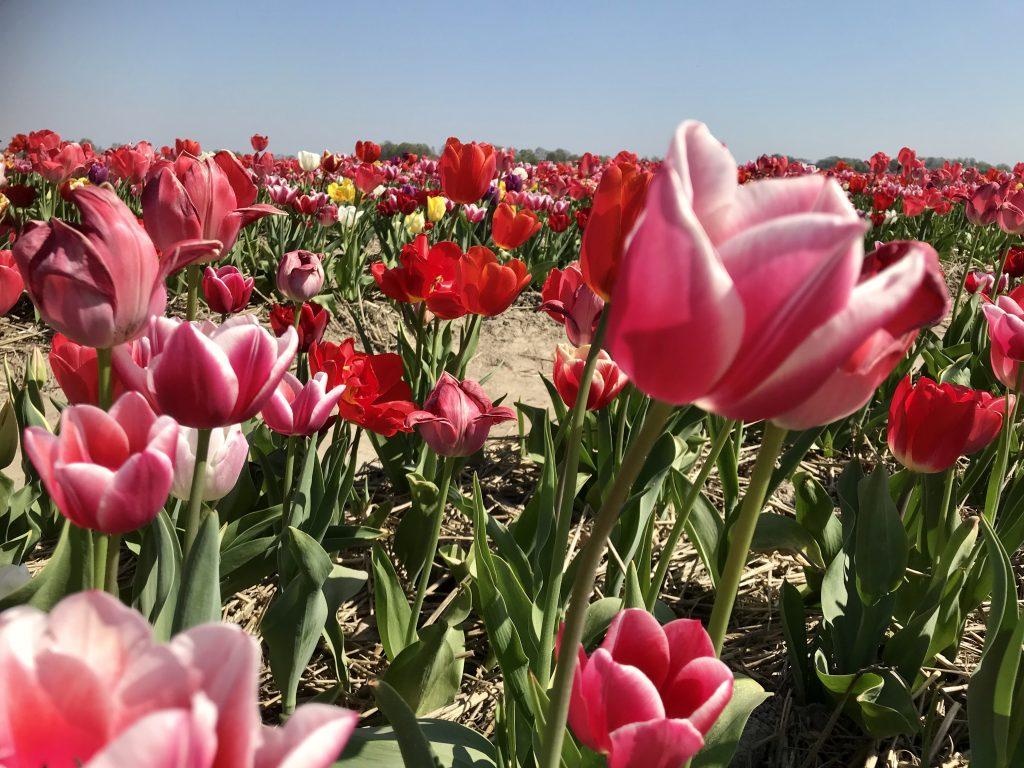 April is de ideale maand om de tulpenvelden te bezoeken.