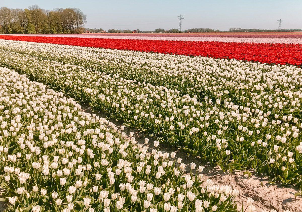 Tulpenroute Flevoland 7