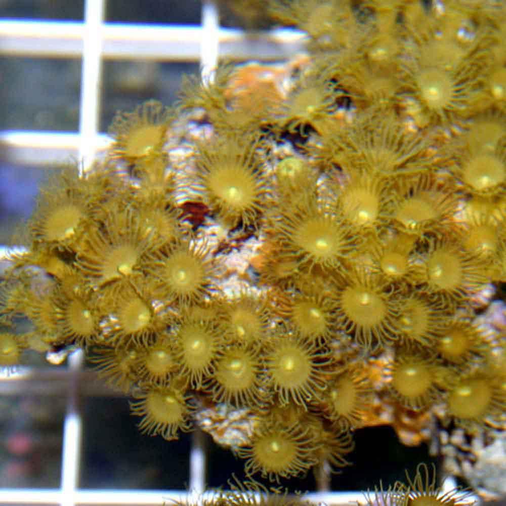 Golden Polyp Rock  Parazoanthus gracilis  Small