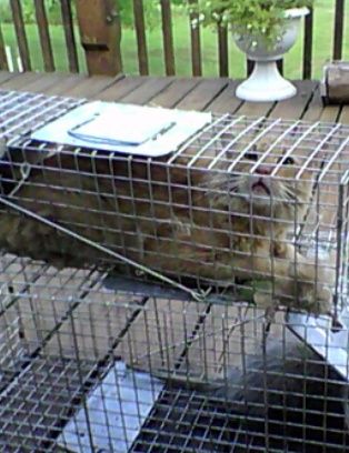 Attempting to rid the garden of pests, the neighbor's cat was captured instead.