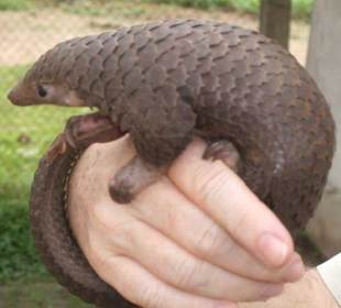 Pangolin - Top 10 animals being killed by poachers