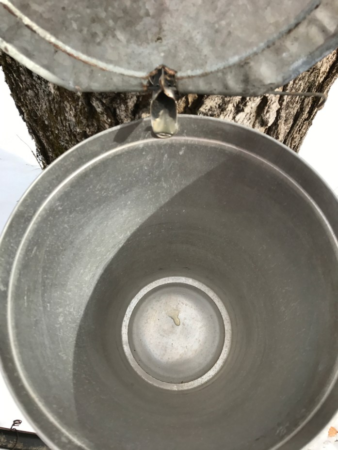 collecting sap in a bucket for making maple syrup