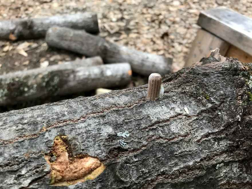 oyster mushroom plug spawn in poplar log