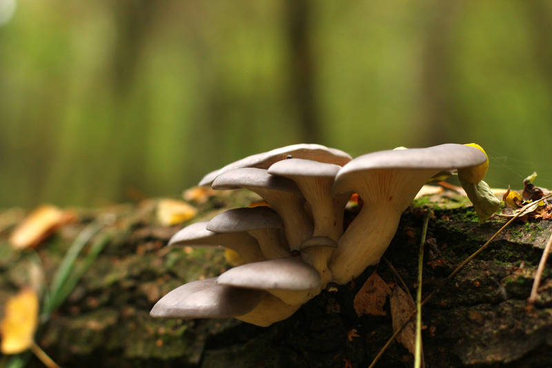 oyster mushrooms on log