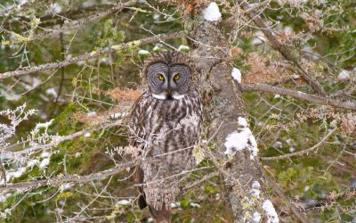 In the search of the elusive Great Gray Owl!