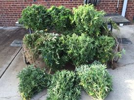 Pot picked by Anne Arundel Police during drug search and seizure raid.