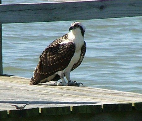 This Osprey decided he wanted to take a break from flying around looking for fish and perhaps try some crabbing from a pier. THE CHESAPEAKE TODAY photo