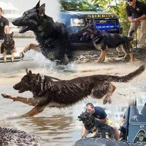Worcester County Maryland Sheriff K9