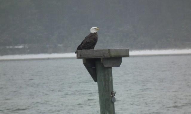 Eagle on Osprey Nest
