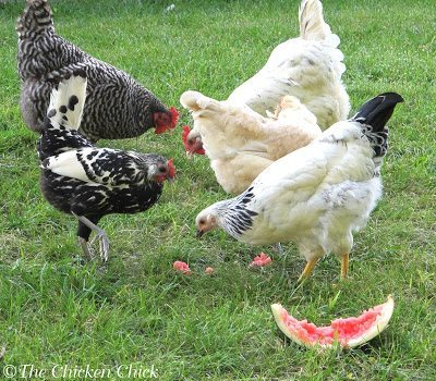 Clean Up After Snack Time: When giving chickens sweet treats, especially when trying to help them beat the summer heat, don't leave sticky, sweet remnants behind that will attract flies. Clean up the rinds & compost them.