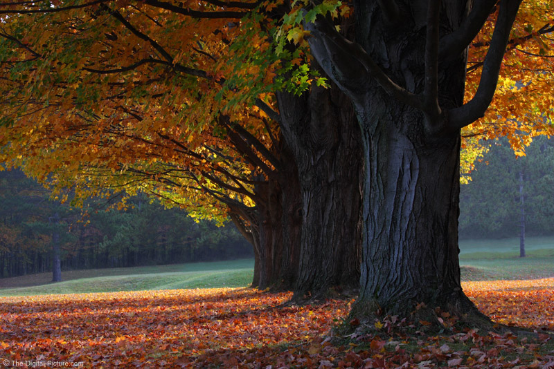 Row of Old Maple Trees in the Fall