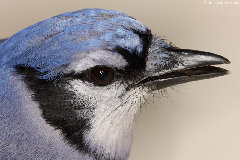 Blue Jay Close Up Picture